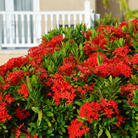Shrub filled with red flowers